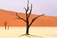 Sossusvlei: dead acacia trees in the Namib Desert, Namibia Stock Image