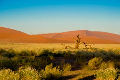 Sossusvlei Desert, Namibia. orange dunes and dead acacia tree in Sossusvlei, Namibia. Dry vlei with dead tree, orange sand and dunes in the Sossusvlei, Namibia royalty free stock photos