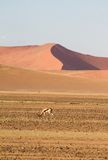 Sossusvlei desert, Namibia. A springbok in the red dunes of Sossusvlei desert, Namibia Royalty Free Stock Images