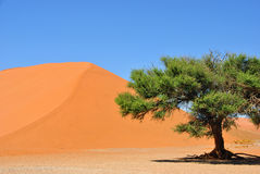 Sossusvlei. Namib-Naukluft National Park, Namibia, Africa. Green Camelthorn Trees against an orange dune number 45 and blue sky in Deadvlei, Sossusvlei. Namib Royalty Free Stock Photos