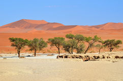 Sossusvlei, Namib Naukluft National Park, Namibia. Beautiful landscape with big red dunes at sunrise, Sossusvlei, Namib Naukluft National Park, Namib desert Stock Images