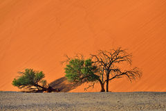 Sossusvlei, Namib Naukluft National Park, Namibia. Beautiful landscape with dune 40 and trees at sunrise, Sossusvlei, Namib Naukluft National Park, Namibia Royalty Free Stock Image