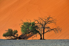 Sossusvlei, Namib Naukluft National Park, Namibia. Beautiful landscape with red dune and trees at sunrise, Sossusvlei, Namib Naukluft National Park, Namibia Royalty Free Stock Image