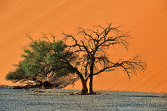 Sossusvlei, Namib Naukluft National Park, Namibia. Beautiful landscape with red dune and trees at sunrise, Sossusvlei, Namib Naukluft National Park, Namibia Royalty Free Stock Photography