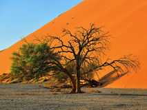 Sossusvlei, Namib Naukluft National Park, Namibia. Beautiful landscape with red dune and trees at sunrise, Sossusvlei, Namib Naukluft National Park, Namibia Royalty Free Stock Images