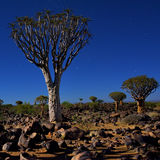 Quiver Tree Forest Royalty Free Stock Images