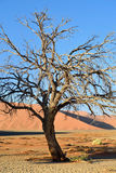 Sossusvlei, Namib Naukluft National Park, Namibia. Dead Camelthorn tree against red dunes at sunrise, Sossusvlei, Namib Naukluft National Park, Namibia Royalty Free Stock Image