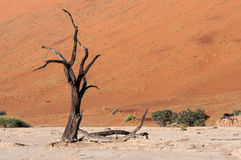 Sossusvlei, Namibia. Dead tree in the Dead Valley in the Namib desert, Namibia Royalty Free Stock Images