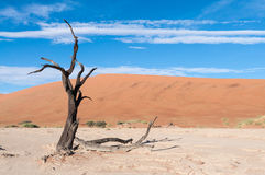 Sossusvlei, Namibia. Dead tree in the Dead Valley in the Namib desert, Namibia Royalty Free Stock Photography