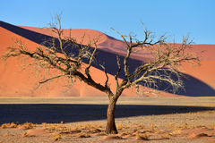 Sossusvlei. Namibia, Africa. Dead Camelthorn Trees against red dune in Sossusvlei at sunrise. Namib-Naukluft National Park, Namibia, Africa stock images