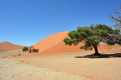 Sossusvlei Namibia Africa. Dune 45 in Sossusvlei Namibia with green trees around. The most famous dune in the whole world stock photos