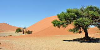 Sossusvlei Namibia Africa. Dune 45 in Sossusvlei Namibia with green trees around. The most famous dune in the whole world royalty free stock photos