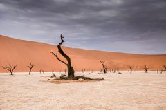 Camel thorn trees in Sossusvlei in Namibia. Africa with large sand dunes in the background stock image
