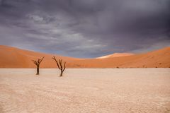Camel thorn trees in Sossusvlei in Namibia. Africa with large sand dunes in the background royalty free stock photos