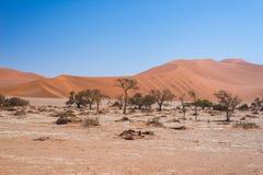 Sossusvlei Namibia, sal escénica de la arcilla plana con los árboles trenzados del acacia y las dunas de arena majestuosas Parque Imagenes de archivo