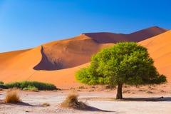 Sossusvlei Namibia, salt lägenhet för scenisk lera med flätade akaciaträd och majestätiska sanddyn Namib Naukluft nationalpark, l Arkivbild