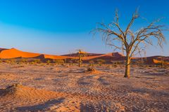 Sossusvlei Namibia, scenic clay salt flat with braided Acacia trees and majestic sand dunes. Namib Naukluft National Park, travel. Destination in Africa Royalty Free Stock Photo