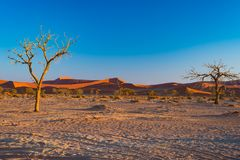 Sossusvlei Namibia, scenic clay salt flat with braided Acacia trees and majestic sand dunes. Namib Naukluft National Park, travel. Destination in Africa Stock Photos