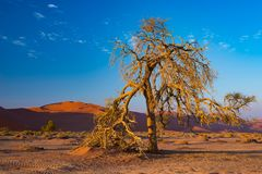Sossusvlei Namibia, scenic clay salt flat with braided Acacia trees and majestic sand dunes. Namib Naukluft National Park, travel. Destination in Africa Stock Photography