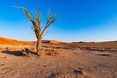 Sossusvlei Namibia, scenic clay salt flat with braided Acacia trees and majestic sand dunes. Namib Naukluft National Park, travel. Destination in Africa Stock Image