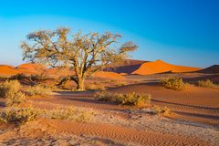 Sossusvlei Namibia, scenic clay salt flat with braided Acacia trees and majestic sand dunes. Namib Naukluft National Park, travel Stock Photography