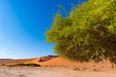 Sossusvlei Namibia, scenic clay salt flat with braided Acacia trees and majestic sand dunes. Namib Naukluft National Park, travel. Destination in Africa Royalty Free Stock Image