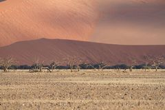 Sossusvlei park, Namibia. Dried trees in the sand dunes of Sossusvlei park, Namibia Royalty Free Stock Photos