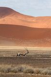 Sossusvlei park, Namibia. A oryx in the  sand dunes of Sossusvlei park, Namibia Royalty Free Stock Photos