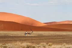Sossusvlei park, Namibia. A oryx in the  sand dunes of Sossusvlei park, Namibia Stock Photo