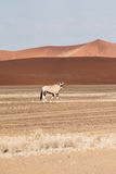 Sossusvlei park, Namibia. A oryx in the  sand dunes of Sossusvlei park, Namibia Stock Images