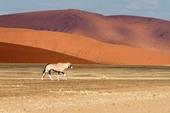 Sossusvlei park, Namibia. A oryx in the sand dunes of Sossusvlei park, Namibia Stock Photos