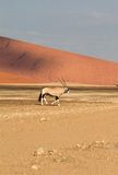 Sossusvlei park, Namibia. A oryx in the  sand dunes of Sossusvlei park, Namibia Stock Photography