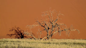 Sossusvlei Tree Stock Photo