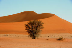 Sossuvlei In Namib Nankluft Park. An isolated green bush grows beneath the red sand dunes in the Namib Desert Royalty Free Stock Photo