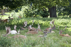 Sosta dei cervi di Charlecote Immagine Stock
