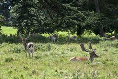 Sosta dei cervi di Charlecote Fotografia Stock