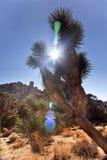 Sosta dell'albero di Joshua del chiarore di Brevifolia Sun del Yucca Immagine Stock