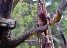 Sosta della scimmia Fotografie Stock Libere da Diritti
