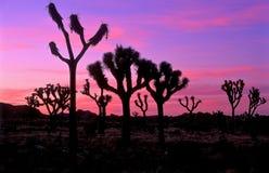 Sosta nazionale dell'albero di Joshua Fotografie Stock
