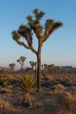 Sosta nazionale dell'albero di Joshua Immagine Stock