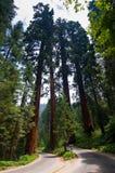 Sosta nazionale della sequoia Fotografia Stock Libera da Diritti