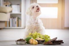 Sostanza tossica dell'alimento e del piccolo cane a lui Fotografia Stock Libera da Diritti
