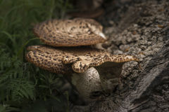 Sostegno o fungo di scaffale sull'albero morto in foresta con il reparto basso immagine stock