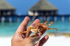 Sostener el cangrejo en la mano Foto de archivo libre de regalías