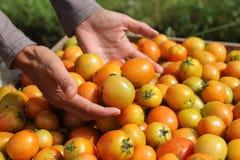 Sostener un tomate, versión 2 fotos de archivo