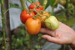 Sostener un tomate, versión 3 imagenes de archivo
