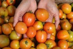 Sostener un tomate, versión 4 fotografía de archivo libre de regalías