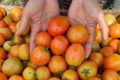 Sostener un tomate, versión 5 foto de archivo