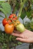 Sostener un tomate, versión 6 imagen de archivo