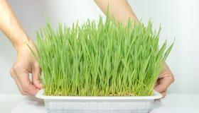 Sostener una planta entre las manos en blanco Imágenes de archivo libres de regalías